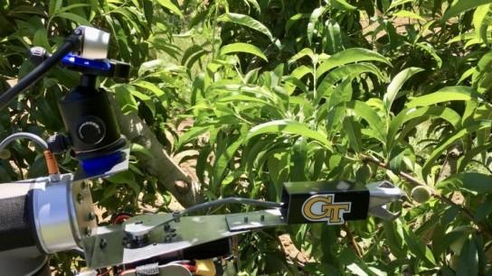 Desarrollan robot para tareas de poda y raleo en duraznos